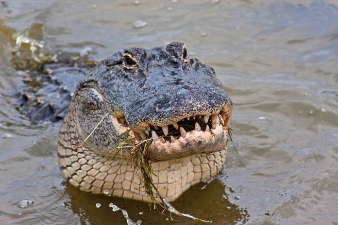 alligator-smile-kelley-nelson