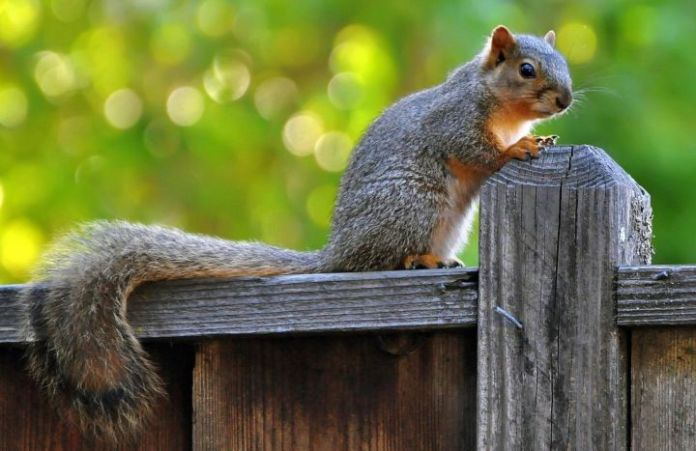 squirrel-on-the-fence-56649