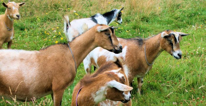 goats-in-pasture-5-2012